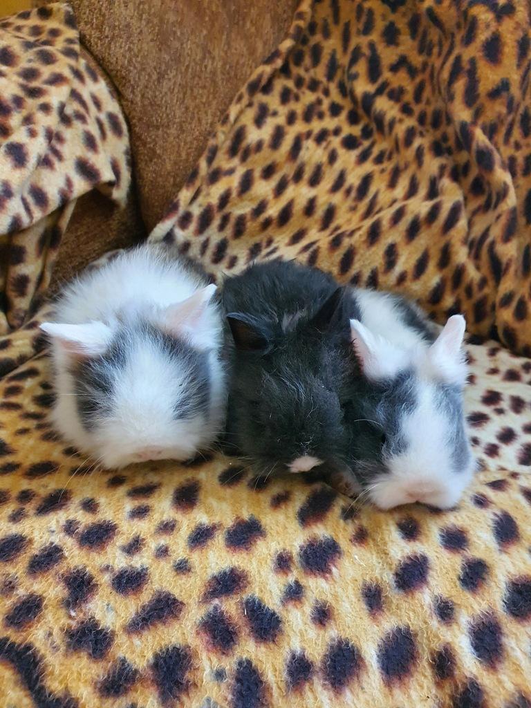 Króliki królik karzełki Teddy
