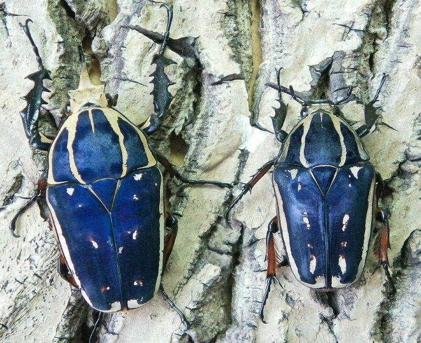 Mecynorrhina torquata ugandensis PARA L3 Chrząszcz