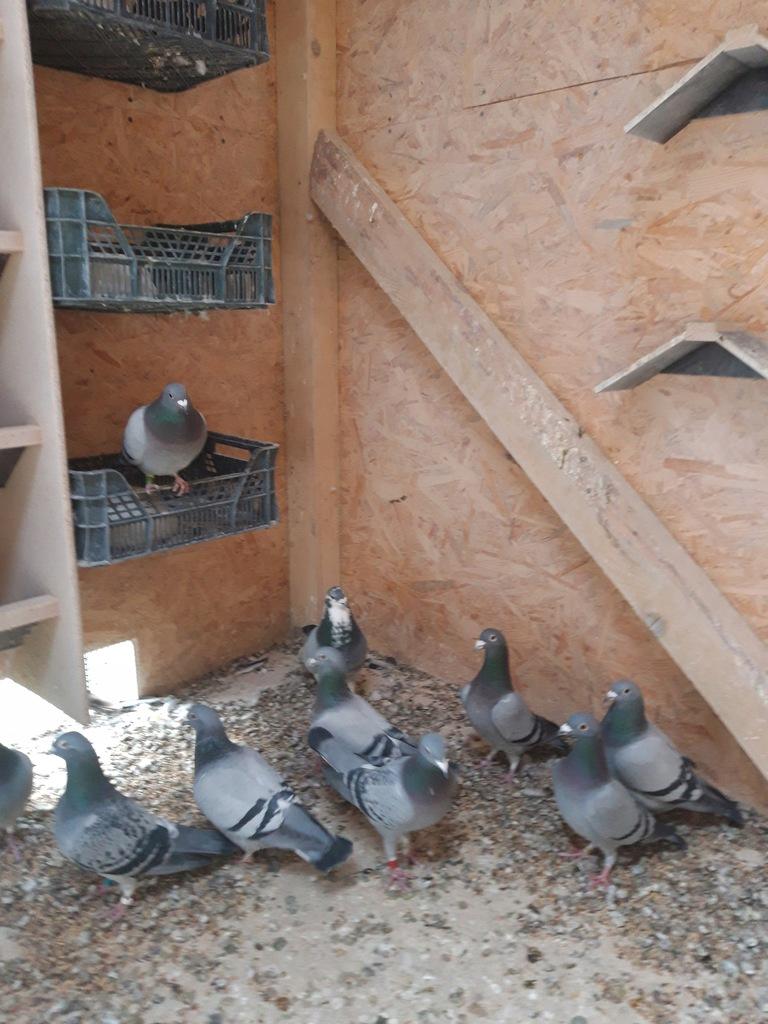 Gołębie poczt. młode z rozpłodu po Super Lotnikach