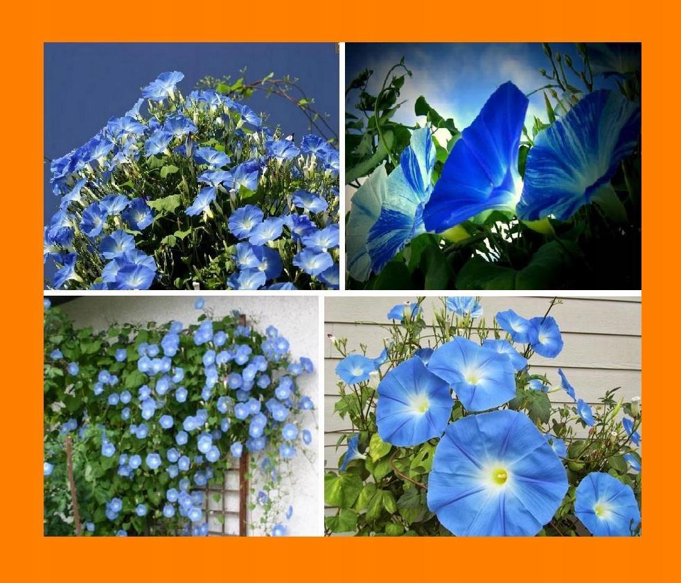Niebiańskie Pnącze Wilec Heavenly Blue sadzonka