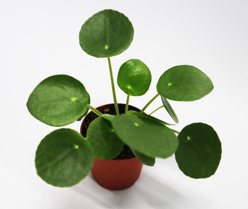 Pilea peperomioides - pieniążek