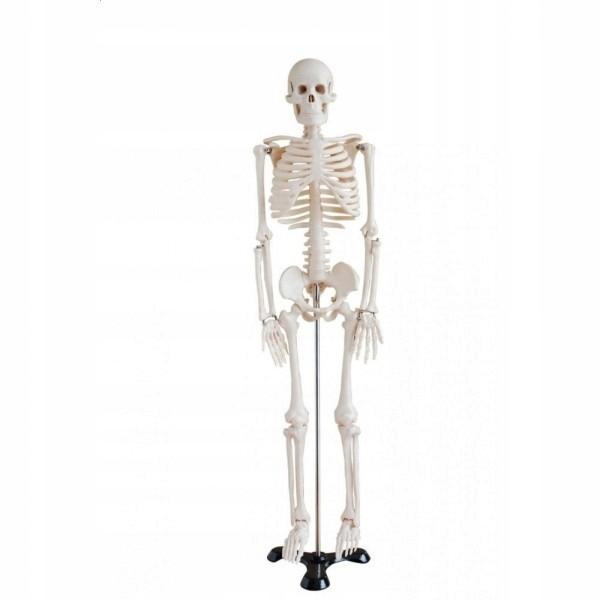 Szkielet Czlowieka Model 85 Cm Anatomia Kosciec 7868371851 Oficjalne Archiwum Allegro