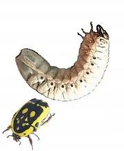 Pachnoda aemula 5 sztuk Larwy 1-3 cm
