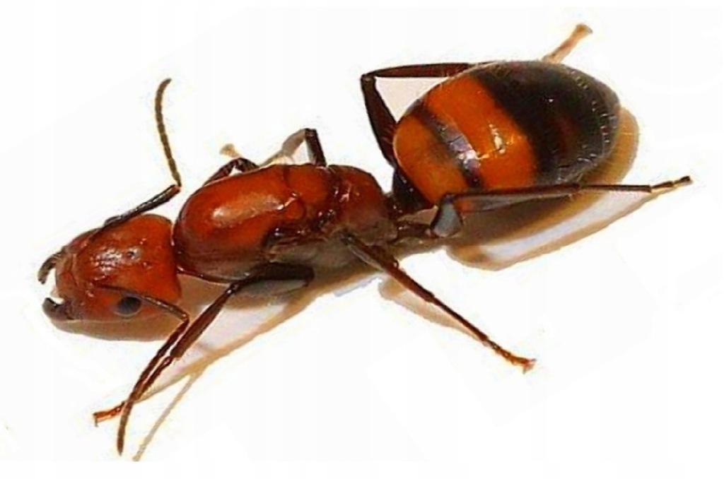 Mrówki Camponotus nicobarensis Q + 8-10 robotnic