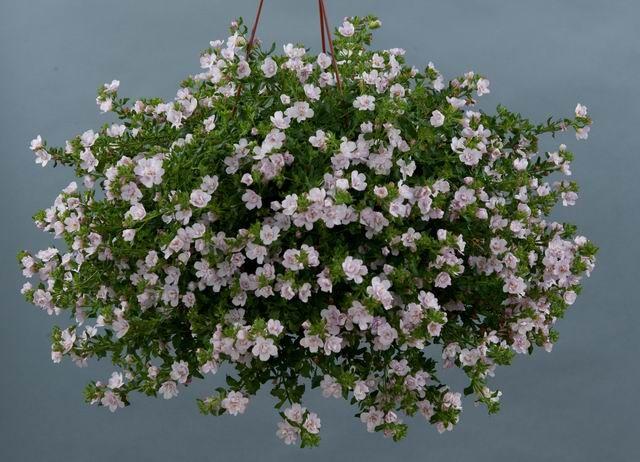 Morsiushuntu Kukka