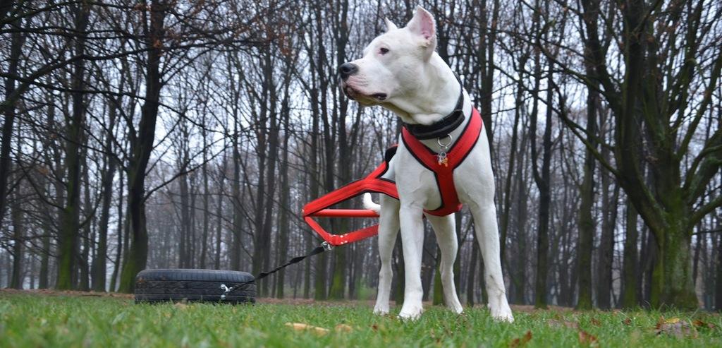 Szelki Weight Pulling El Perro Rozmiar L Czerwone 8233477104 Oficjalne Archiwum Allegro