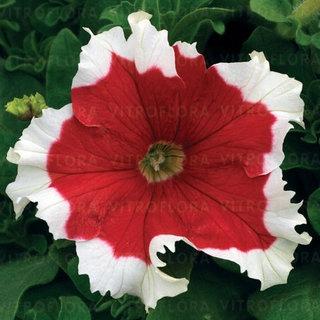 Petunia czerwona+biały 5szt sadzonka WYSod14.04.20
