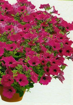 Petunia zwisła purpurowa 10 szt