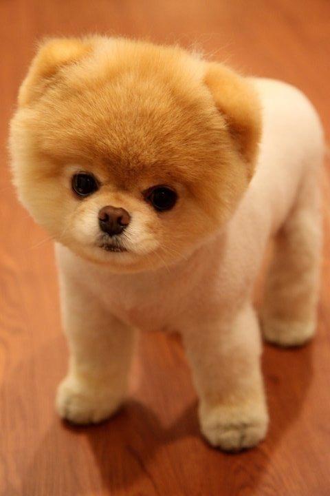 Szpic Miniaturowy Pomeranian Boo Tajlandzkie 7979970715 Oficjalne Archiwum Allegro