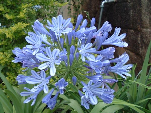 LILIA AFRYKAŃSKA agapant kwiaty cięte sadzonka 2L