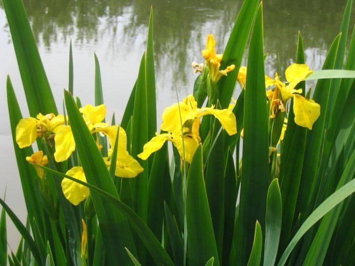 Kosaciec żółty sadzonki 50szt do oczyszczalni