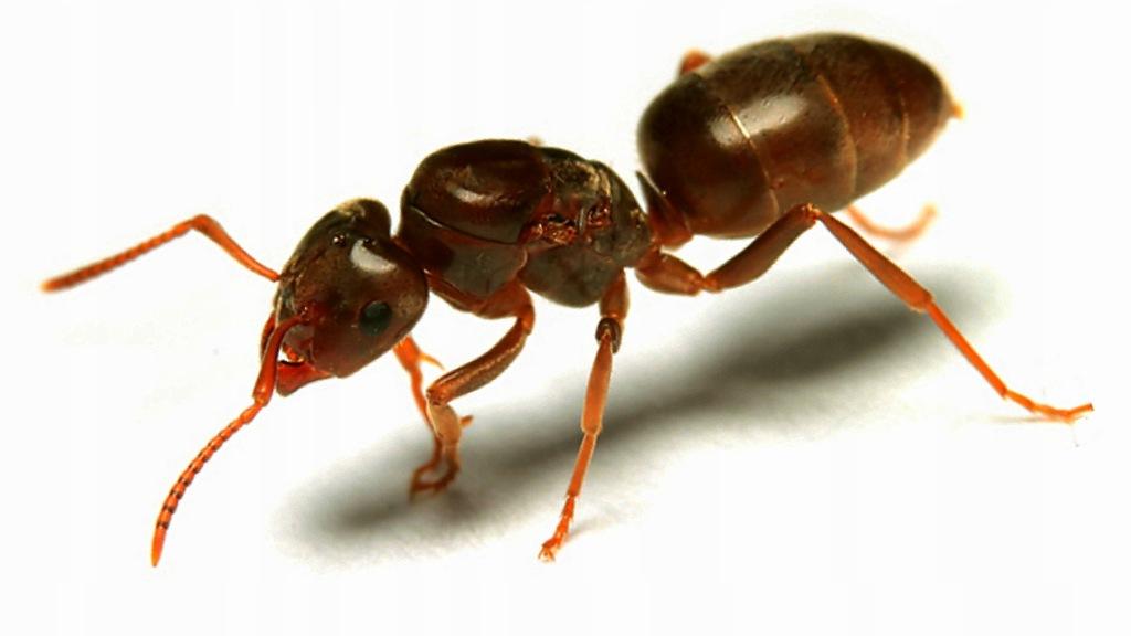 Mrówki Lasius umbratus Q 2019 + 10-20 robotnic