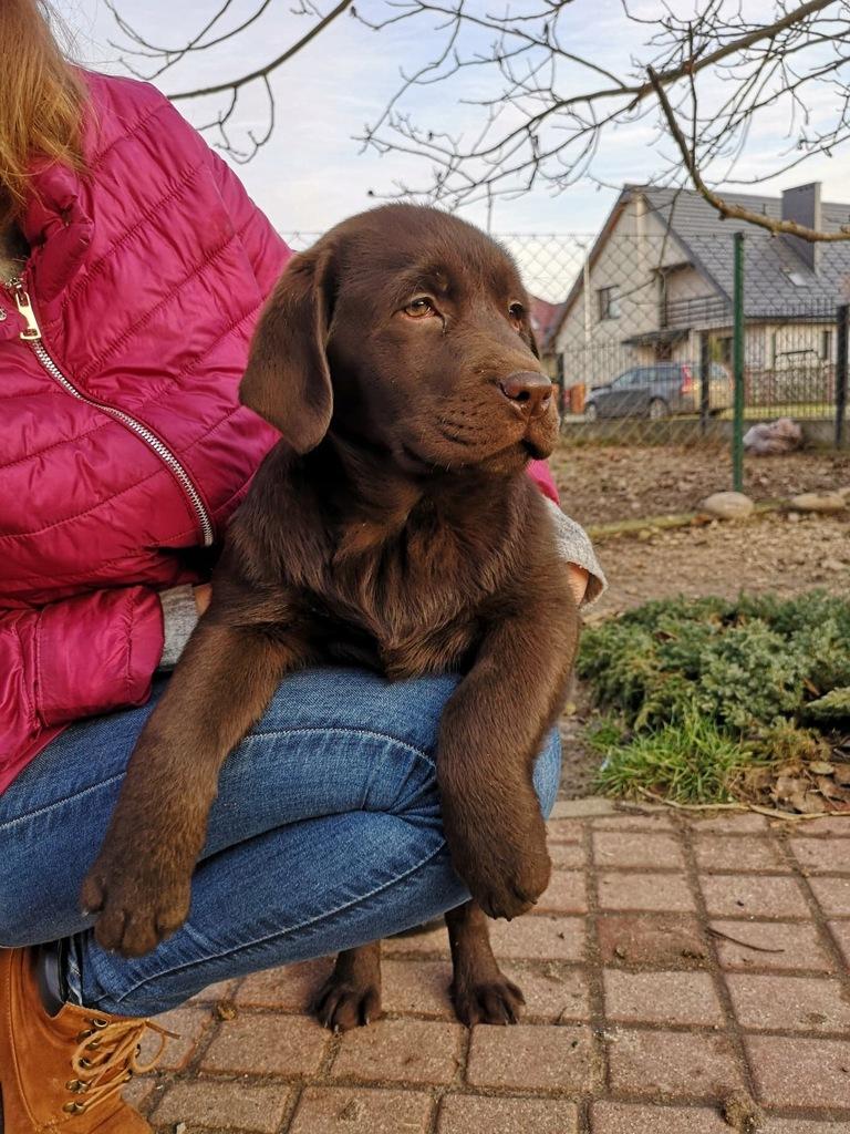 Szczenięta Labrador Retriever rodowodowe ZKwP FCI