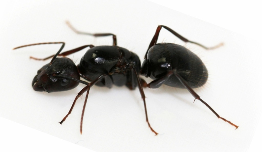 Mrówki Camponotus jianghuaensis + 30-40 robotnice