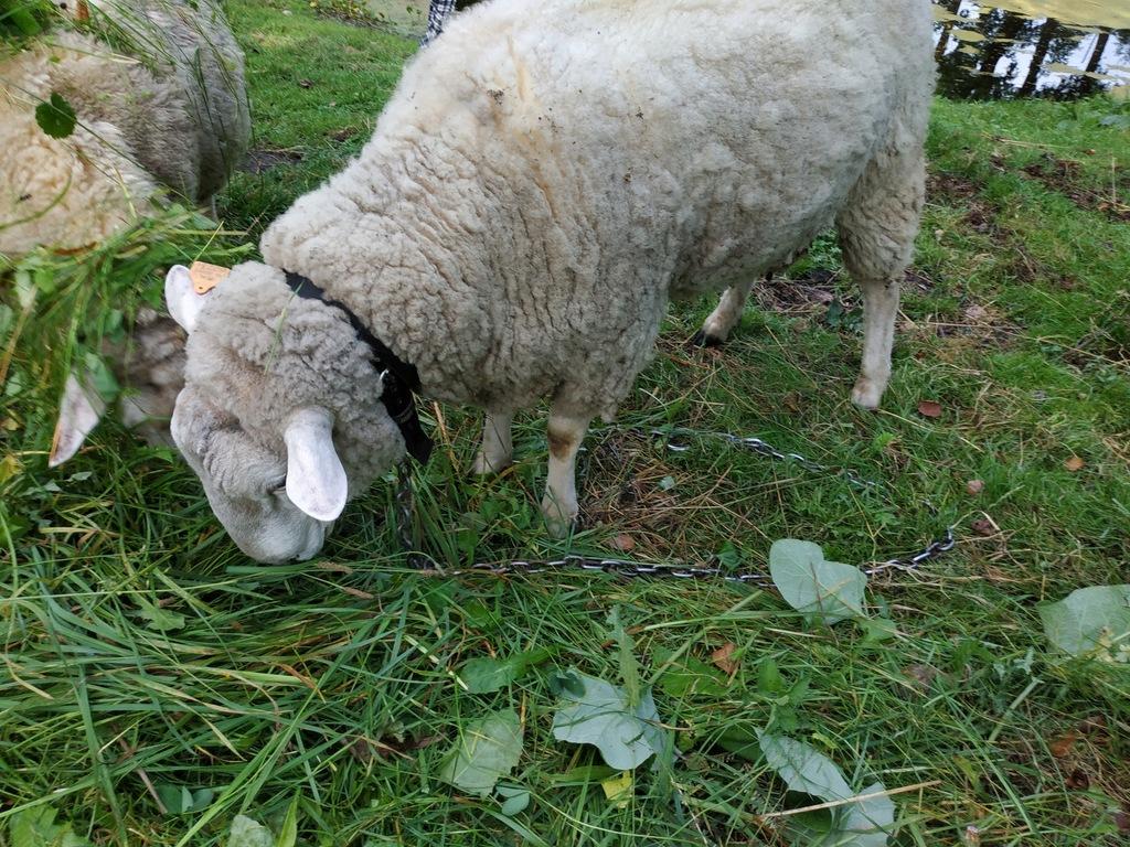 Baran, tryk, rasa pomorska, owca, owce