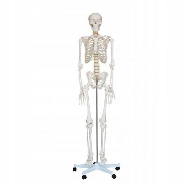 Szkielet Czlowieka Model Anatomiczny 170 Cm 7949253137 Oficjalne Archiwum Allegro