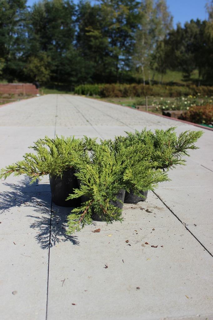 Jałowiec Płożący (Juniperus horizontalis)