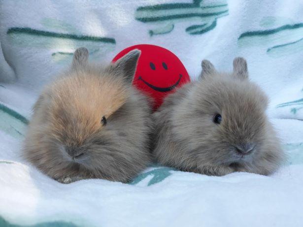 króliki karzełki miniaturki długowłose transport