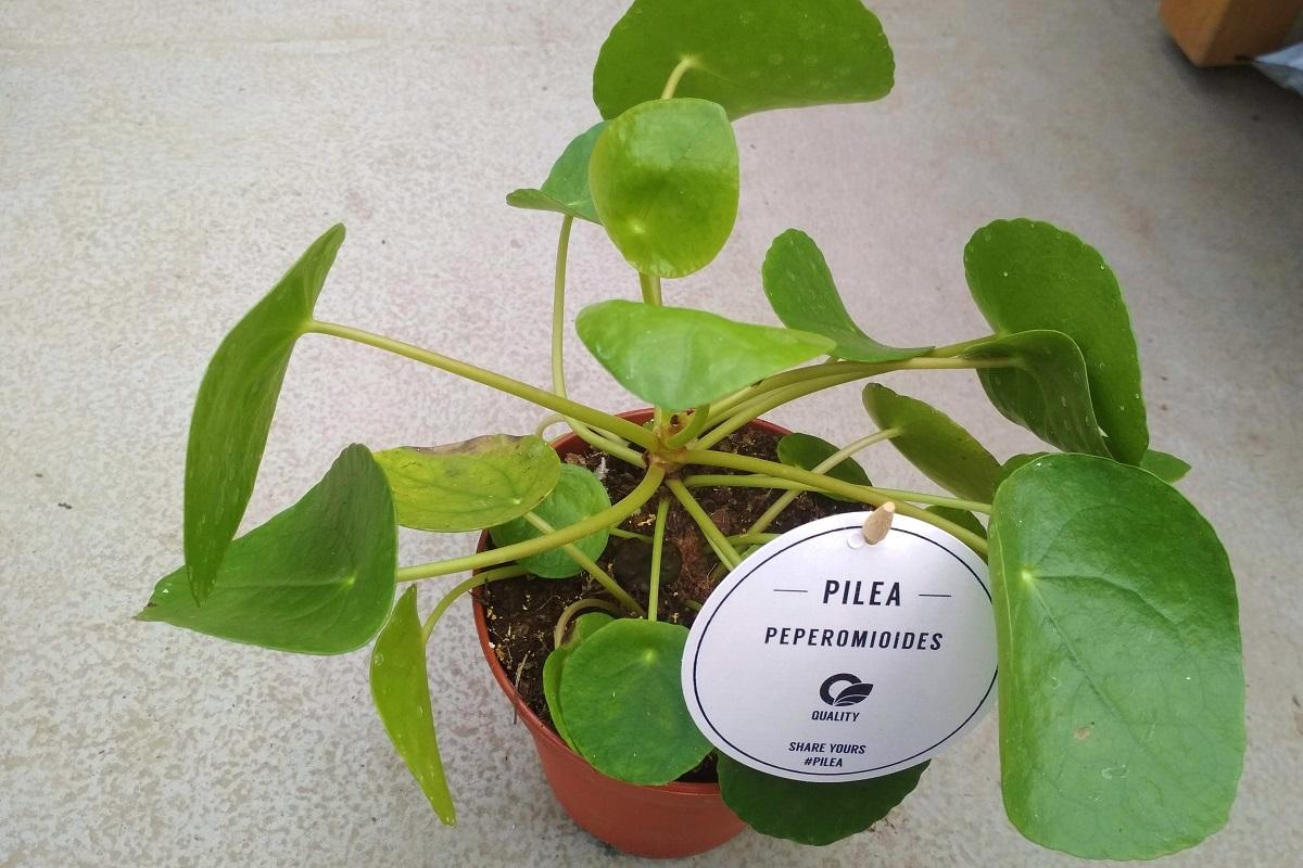 pilea6