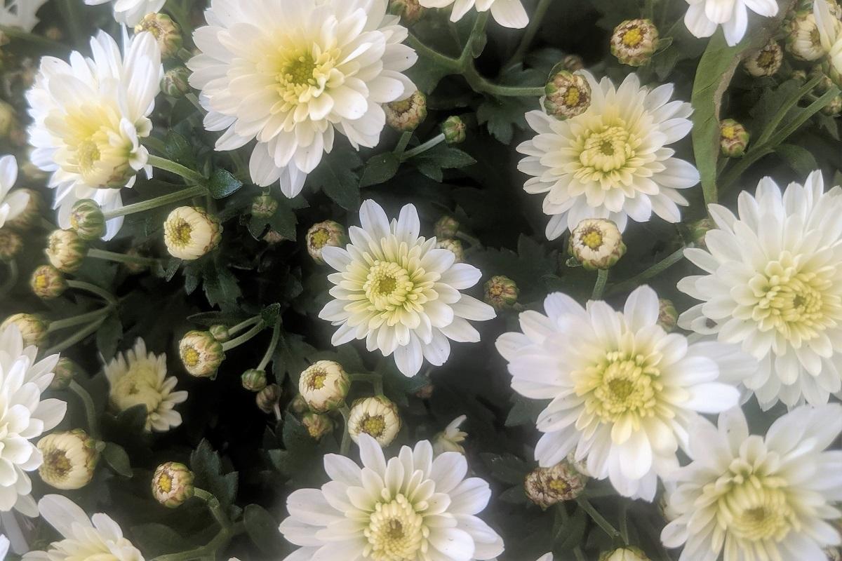 chryzantemy białe