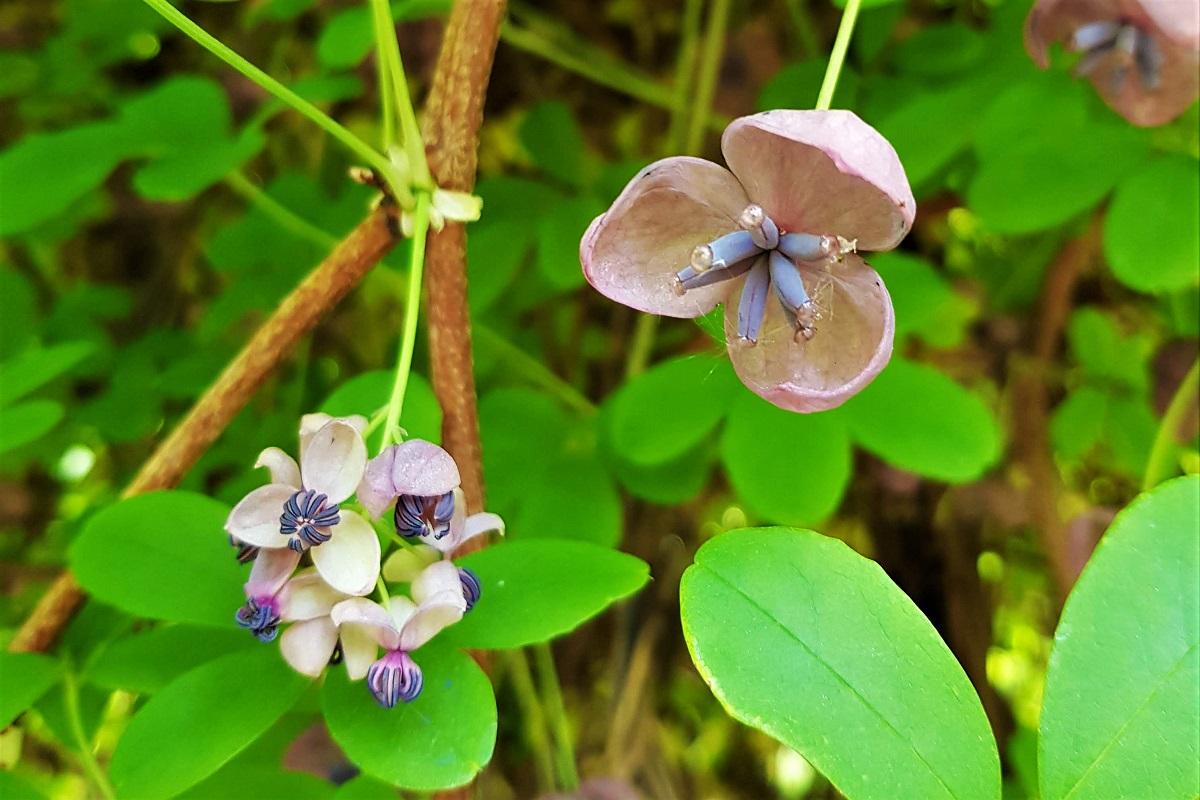 akebia kwiaty