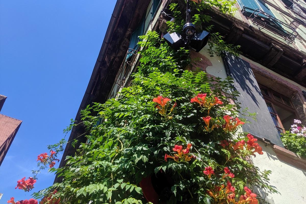 Top 10 Najpiekniejszych Pnacych Roslin Na Balkon Allegro Pl