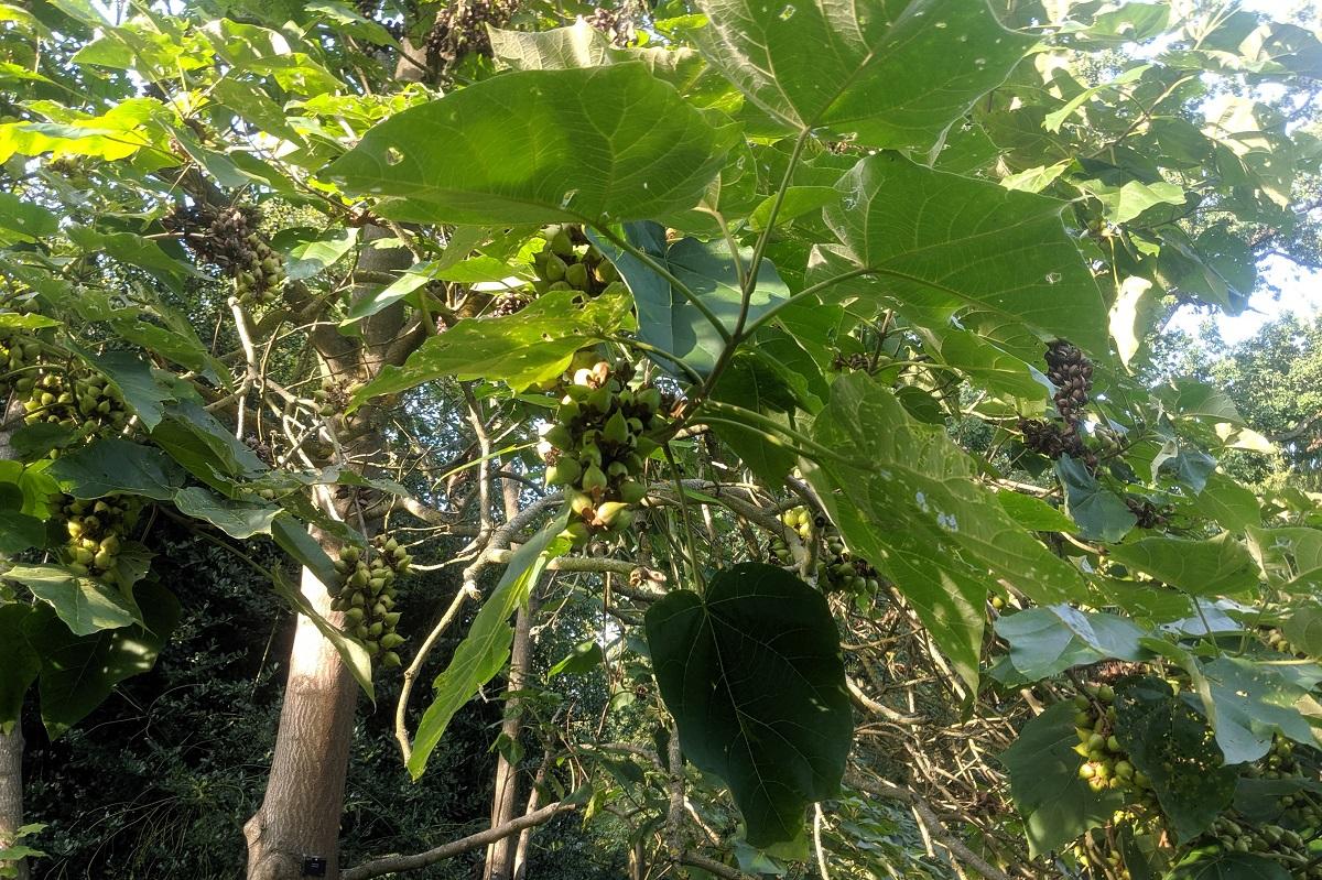 paulownia liście