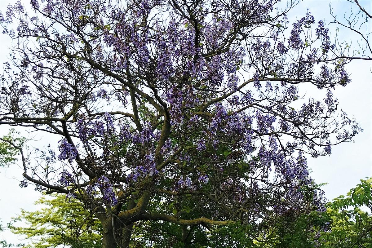 paulownia drzewo