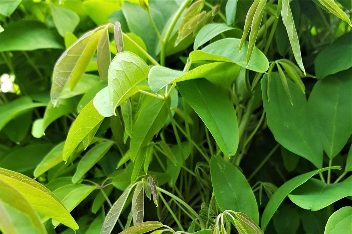 akebia zdrowe liście