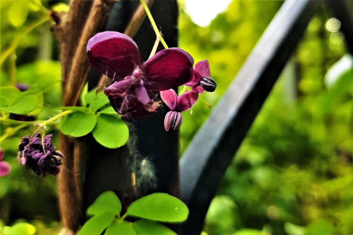 kwiaty purpura