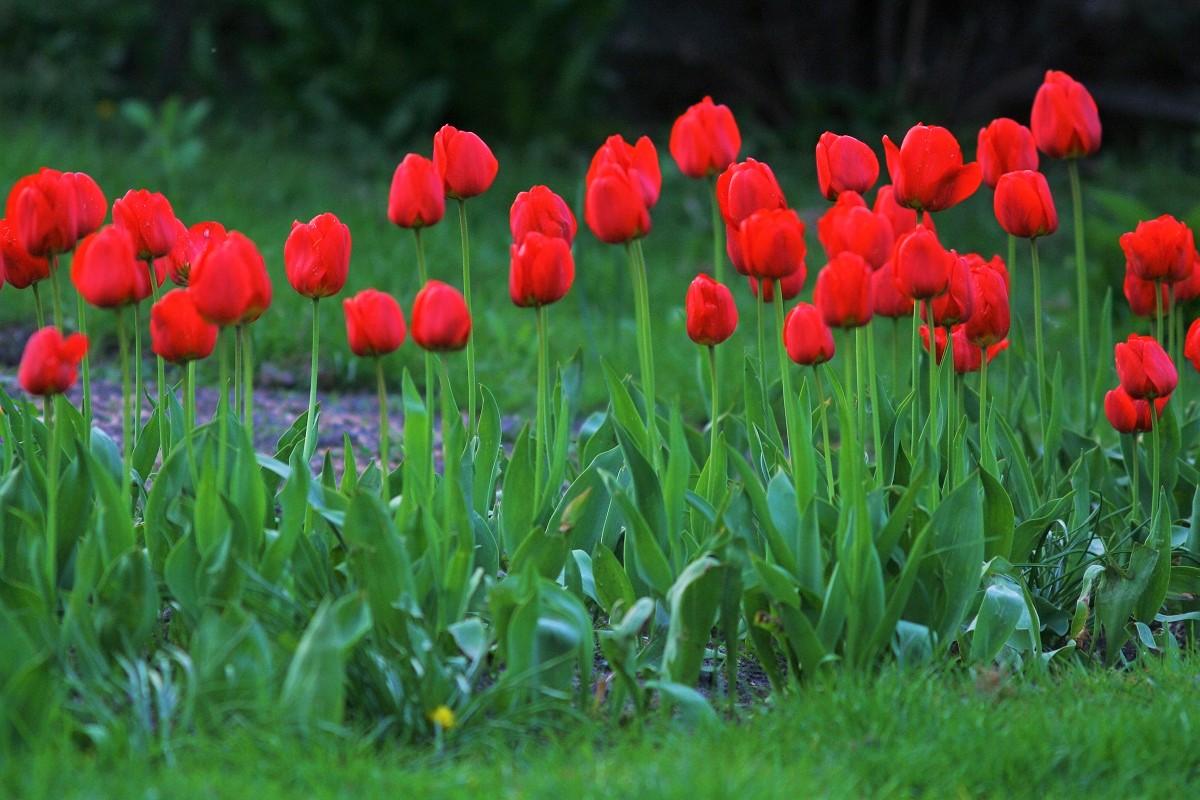 Tulipany na skraju trawnika.