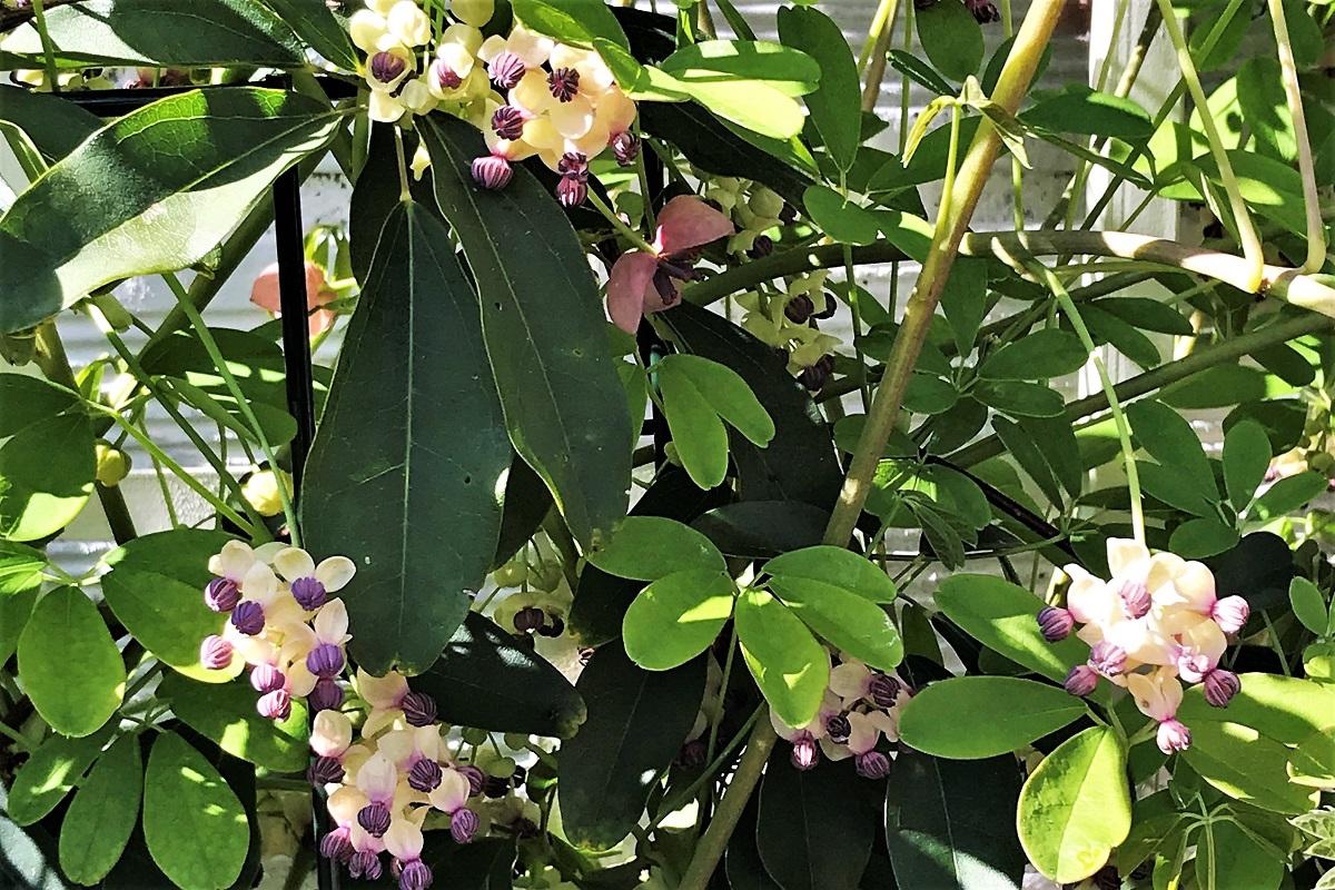 akebia silver bells kwiaty