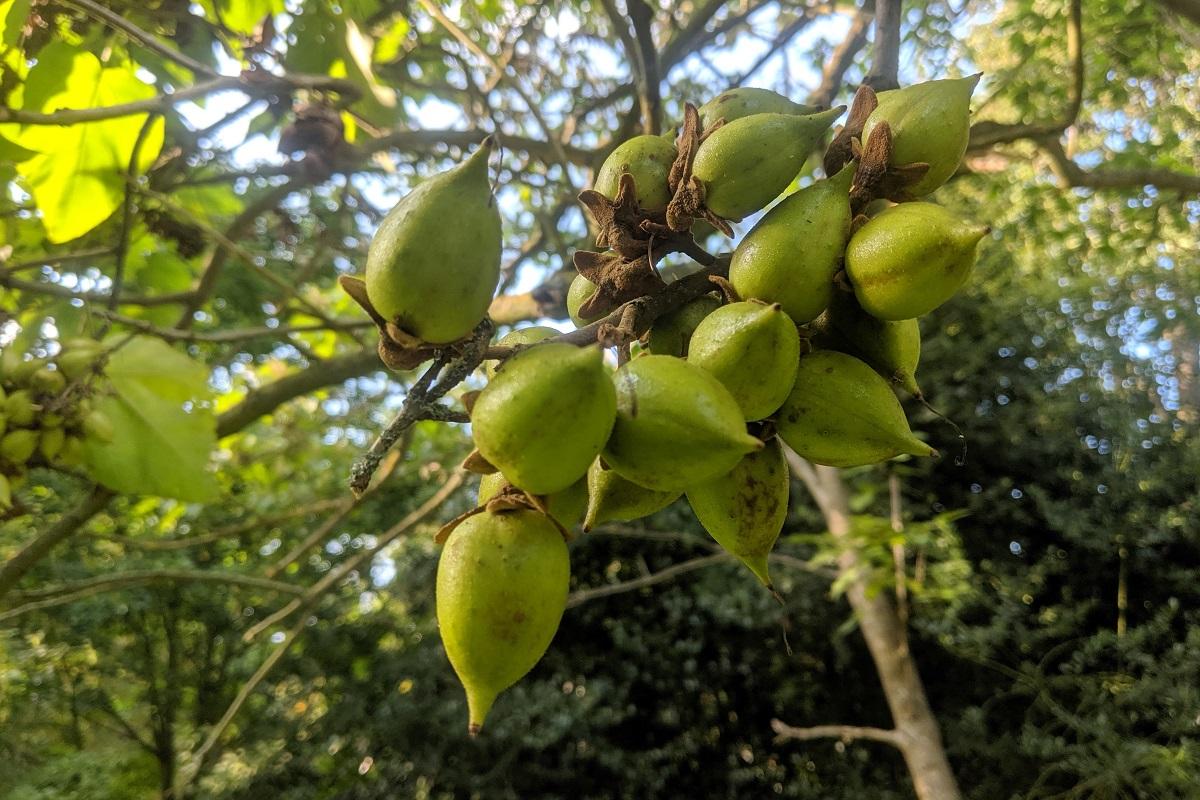 paulownia owoce