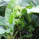 Bananowiec Dwarf Cavendish C2 Wysokość sadzonki 20-40 cm