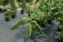 Bananowiec Dwarf Cavendish C2