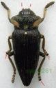 Polybothris expansicollis 32mm Madagaskar