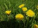 Mniszek lekarski nasiona 100g Rodzaj rośliny Inny