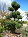 Cyprysik Boulevard 1 kula na pniu 40-50cm C5 Rodzaj rośliny Cyprysy i cyprysiki