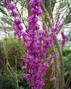 JUDASZOWIEC WSCHODNI - JADALNE KWIATY - 20 NASION Styl ogród skalny ogród japoński ogród wiejski ogród nowoczesny ogród śródziemnomorski