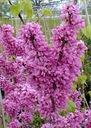 JUDASZOWIEC WSCHODNI - JADALNE KWIATY - 20 NASION Cykl rozwojowy rośliny wieloletnia