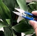 ножницы Instagram ??? растений бонсай canna
