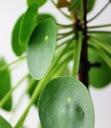Pilea peperomioides - roślina pieniążek Roślina w postaci sadzonka w pojemniku do 0,5l