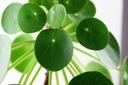 Pilea peperomioides - roślina pieniążek Cechy charakterystyczne proste w pielęgnacji lubiące cień