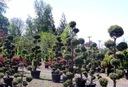 Cyprysik Boulevard 1 kula na pniu 40-50cm C2 Roślina w postaci sadzonka w pojemniku 2-3l