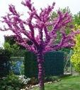JUDASZOWIEC WSCHODNI - JADALNE KWIATY - 20 NASION Kolor kwiatów fioletowy różowy
