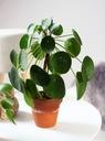 Pilea peperomioides - roślina pieniążek Rodzaj rośliny rośliny zielone