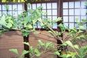 Miłorząb japoński pagodowy inny