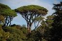 Sosna pinia pinus pinea 90-110cm C2