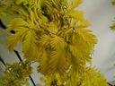 Metasekwoja chińska GoldRush 70-90cm C4 Rodzaj rośliny inne