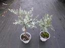 Eukaliptus gunni niebieski na pniu 20-30cm 1L Styl ogród skalny ogród japoński ogród wiejski ogród nowoczesny ogród śródziemnomorski